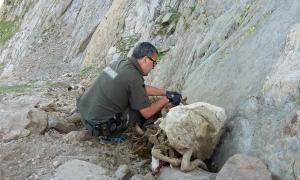 Els agents rurals confirmen la mort de 160 ovelles a Lladorre