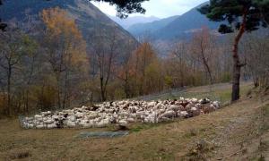 Un dels agrupaments de ramats d'ovelles per protegir els animals dels ossos.