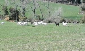 La problemàtica és recurrent: la imatge es correspon a un altre ramat de cabres ensalvatgides que deambulaven fa un temps per Oliana.