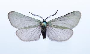 Troben al parc de l'Alt Pirineu una papallona encara no documentada