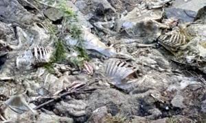 150 ovelles mortes per l'atac d'un os a un ramat