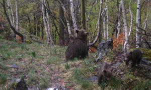 Captades les primeres imatges d'una nova cadellada d'óssos