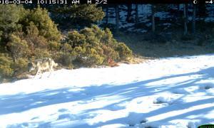 Continuen detectant la presència de llops a la Cerdanya i el Ripollès llop