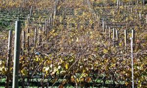 Camp de vines, o vinyet, a Fontaneda, que reuneix les condicions de sol, sòl i pluviositat ideals per a aquest cultiu.