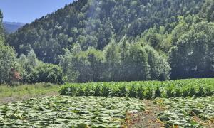 Un camp de plantes de tabac.