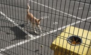 Un gos passejant per la via pública.