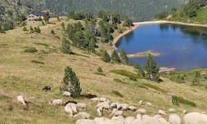 El ramat d'ovelles a la zona del Comapedrosa.