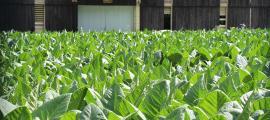 Plantes de tabac en una plantació a Santa Coloma.