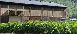Una plantació de tabac a Santa Coloma.