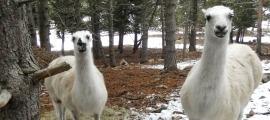 Murga i Trufa, les dues llames que s'han incorporat al parc d'animals de Naturlandia.