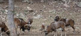 Naturlandia traslladarà 12 muflons a la reserva Wild Forest.