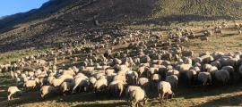 El ramat de 700 ovelles que peix de d'aquest dilluns al Comapedrosa.