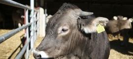 En primer terme, una vaca a la seva quadra, amb l'identificador que se'ls posa a l'orella quan neixen.