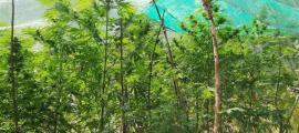 Plantes de marihuana al rec del Solà en el moment de l'operació 'Cabirol'.