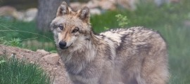 Un dels llops del parc d'animals.