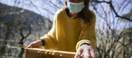 Agricultura ha accedit a fer un nou estudi per controlar possibles efectes del tractament contra la processionària en les abelles.