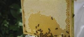 Un apicultor mostra un quadre on les abelles dipositen la mel.