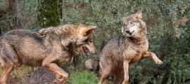 Entitats ecologistes pretenen crear un santuari per a llops al Pirineu