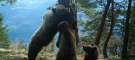 Els ramaders es mobilitzen davant del primer atac de l'ós