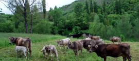 Un ramat de vaques en una finca del Pallars Sobirà.