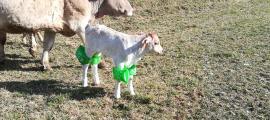 Vaques pasturant amb flotadors a les articulacions pels prats de la població d'Escalarre on s'hauria de fer el festival.