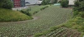 Una plantació de tabac.