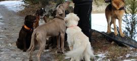 Una persona envoltada per un grup de gossos.
