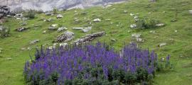 Tot apunta que van ingerir la planta tora blava, que creix a les muntanyes dels Pirineus.