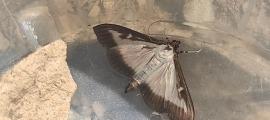 Un exemplar de papallona del boix.