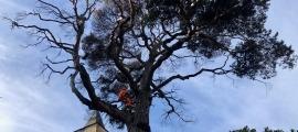 """La intevenció al pi roig del carrer major ha començat aquest matí amb la poda de les branques mortes i culminarà la setmana que ve amb la """"regeneració del sòl""""."""