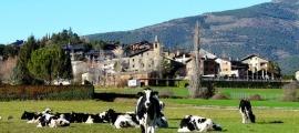 Vaques en una explotació a Aravell.