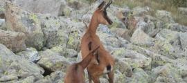 Imatge de dos isards a les muntanyes del país.